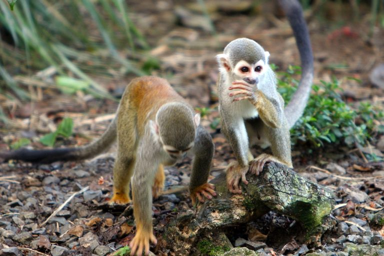 Two squirrel monkeys meander across the Amazonian forest floor, looking for insects to eat. Photo by Rhett A. Butler.