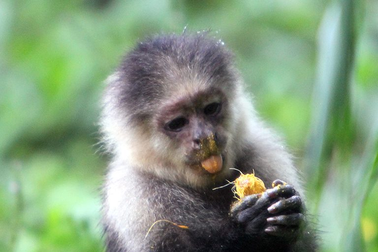A white-headed capuchin monkey in Colombia messily munches on a piece of fruit. The carbon-filled scraps from this meal will enrich the forest's soil. Photo by Rhett A. Butler