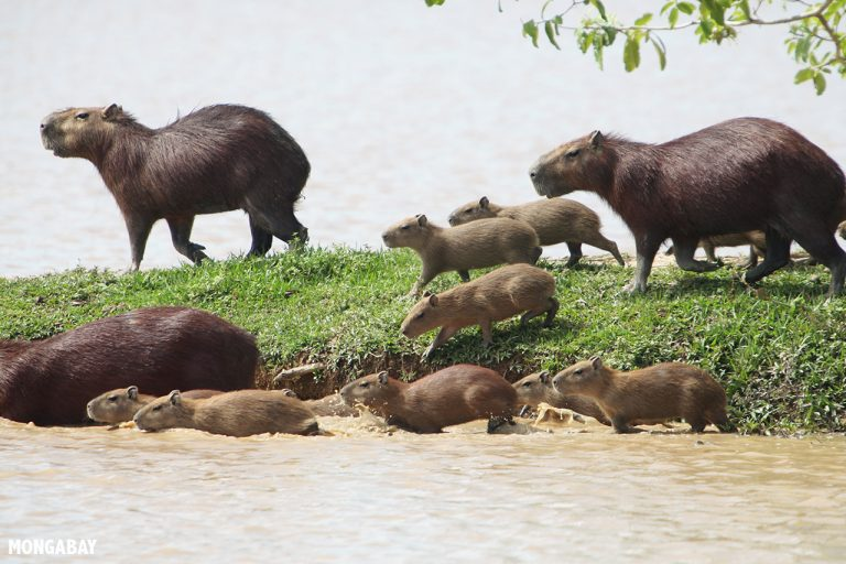 A herd of capybara, the world's largest living rodents, go for a swim in Colombia. Photo by Rhett A. Butler