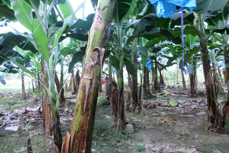 Backyard banana in southern Cameroon. Photo by Trevon Fuller
