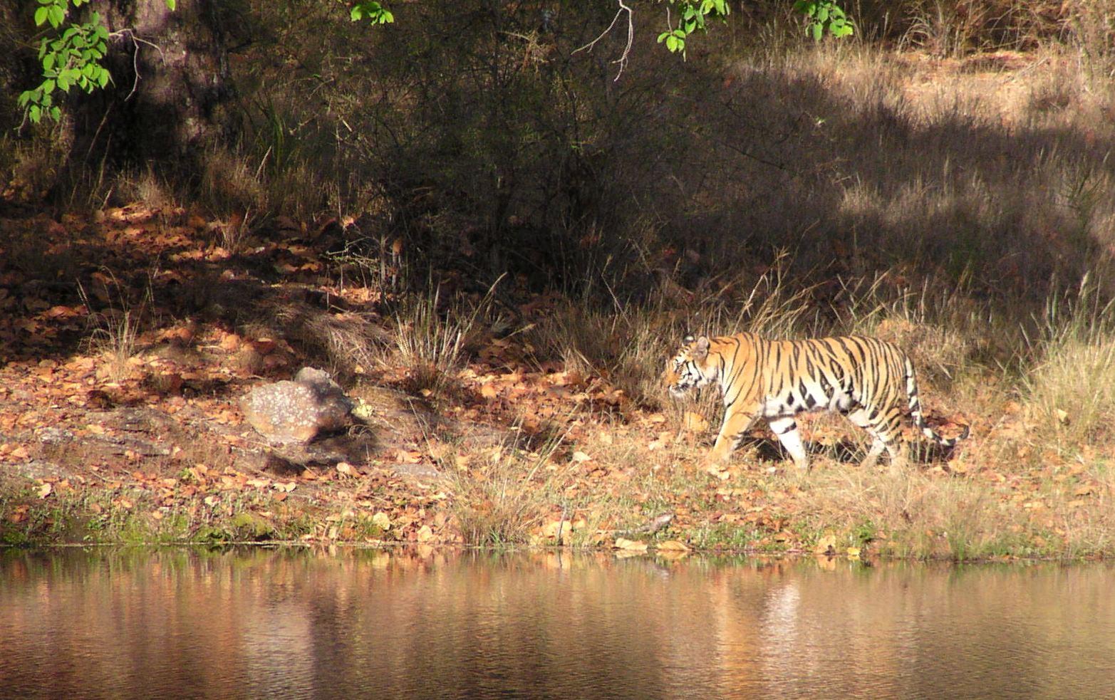 Tiger patrols a river bank in Bandhavgarh National Park, India.