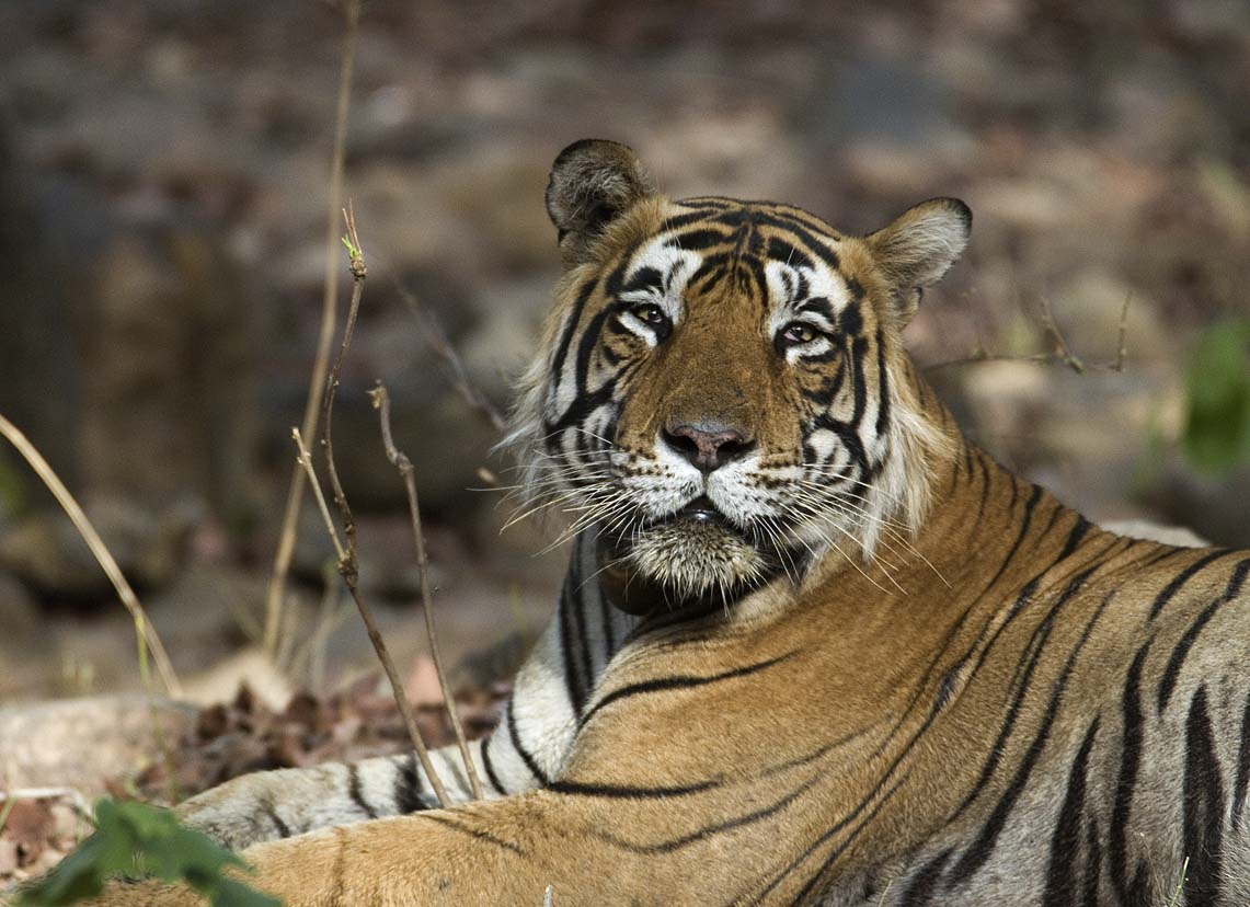 A sleepy-looking male tiger in India's Ranthambhore National Park. Photo credit: Koshy Koshy CC 2.0