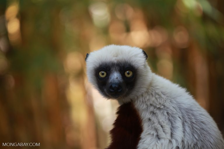 Coquerel's sifaka (Propithecus coquereli), a species that lives in Bongolava. Photo by Rhett A. Butler.