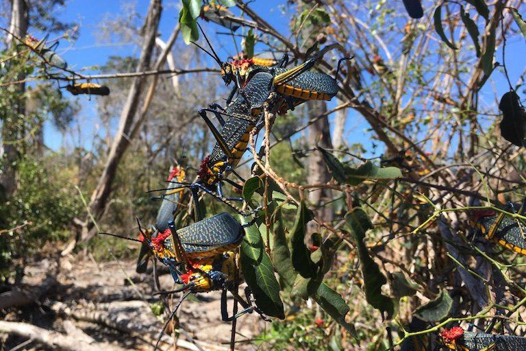 Rainbow milkweed locusts (Phymateus saxosus) in Bongolava. Photo by Rowan Moore Gerety for Mongabay.