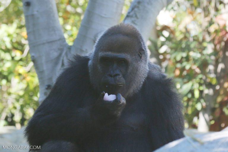 Le nombre de gorilles a diminué lorsque l'exploitation forestière a commencé, mais ils sont retournés se nourrir d'une nouvelle végétation qui pousse dans les forêts exploitées. Photo par Rhett A. Butler / Mongabay.