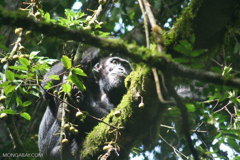 Les chercheurs ont constaté que les chimpanzés étaient moins susceptibles de retourner dans les forêts exploitées. Photo par Rhett A. Butler / Mongabay.