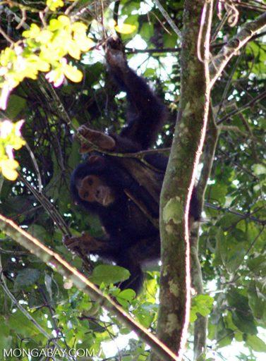 Les chercheurs stipulent que la nature territoriale des chimpanzés pourrait rendre plus difficile leur retour dans les forêts exploitées. Photo par Rhett A. Butler / Mongabay.