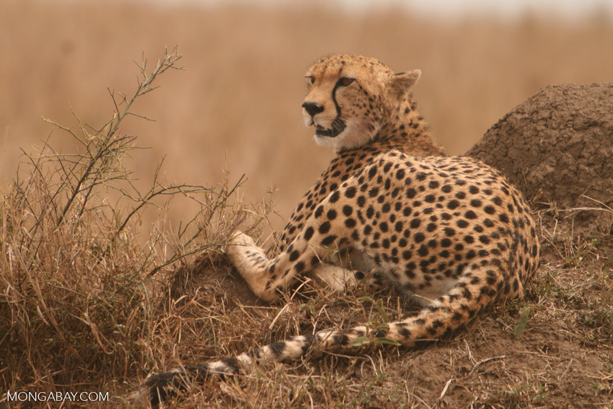 the characteristics of cheetah an endangered species from africa