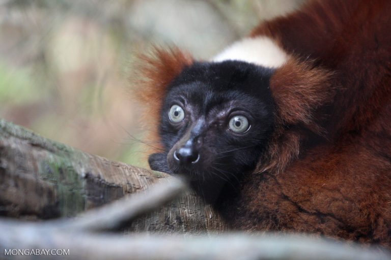 Red ruffed lemur (Varecia rubra), a species that lives in northeastern Madagascar, where rosewood logging has been severe. Photo by Rhett A. Butler.