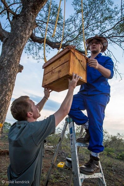 Hanging dummy beehives in marula trees
