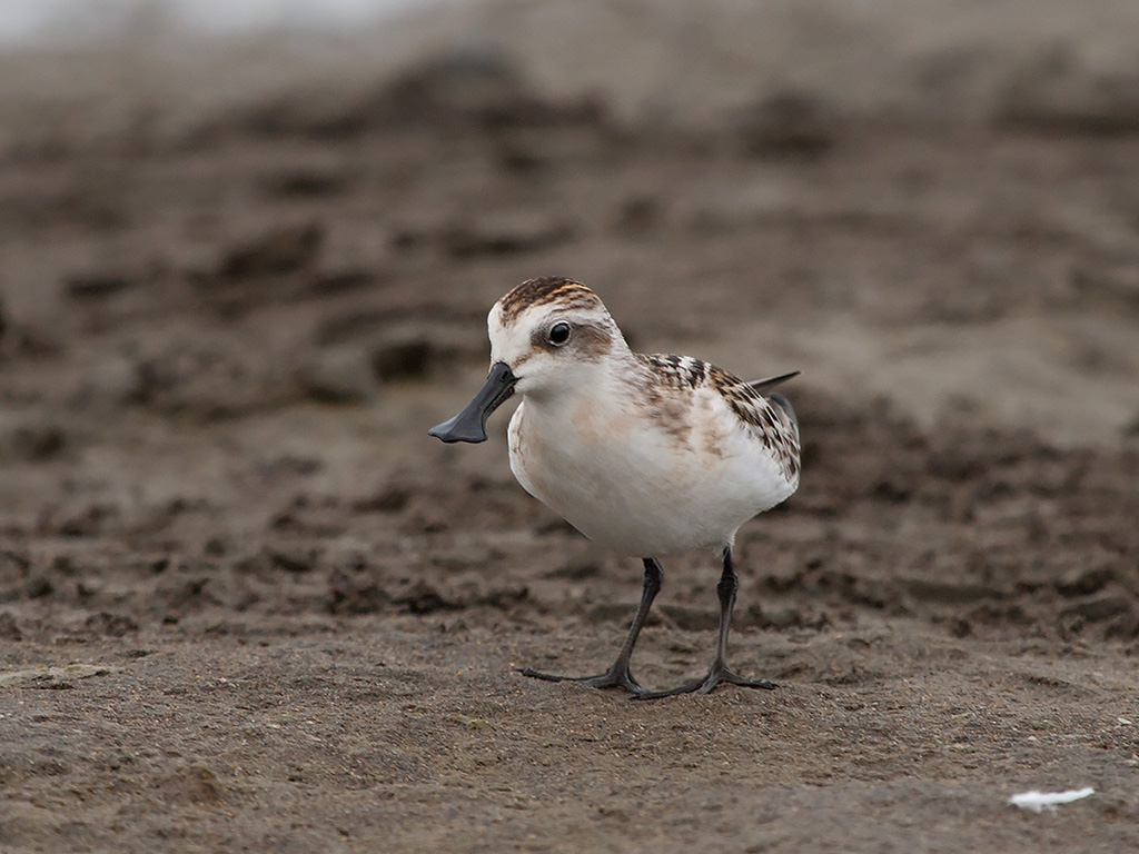 Land reclamation threatens extremely rare spoon-billed sandpipers in China