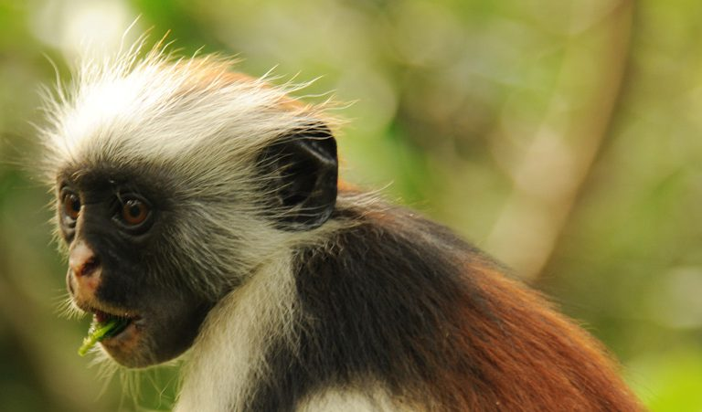 a science paper on colobus monkeys Foraging challenges of red colobus monkeys: influence of nutrients and secondary eaten by red colobus monkeys and leaves that red paper was originally.