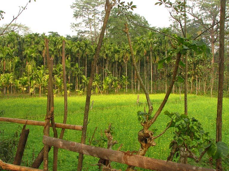 Betel nut forms mustard field boundary. Photo credit: Moushumi Basu/Mongabay