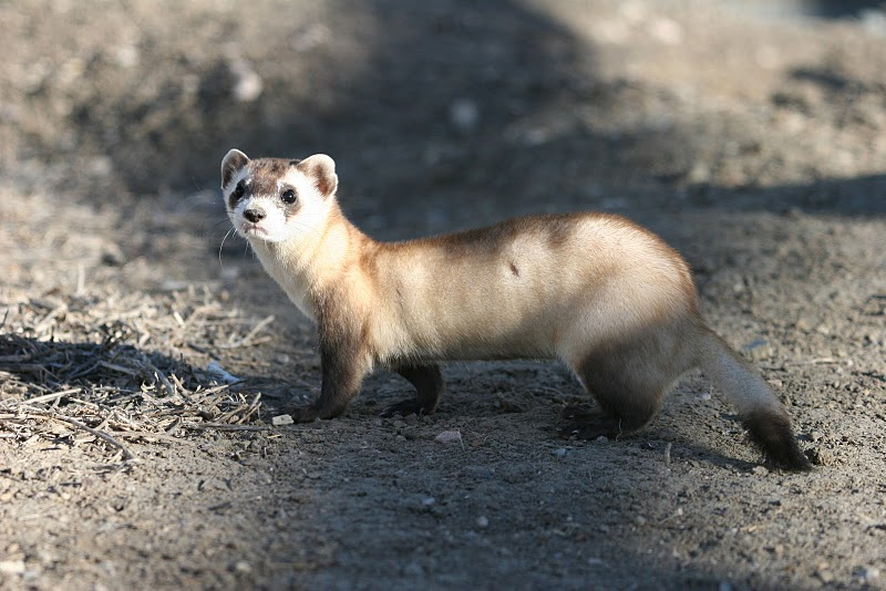 The black-footed ferret, found in six western US states, is threatened by loss of native grasslands and its main prey, prairie dogs, which are eliminated by ranchers in the American West.