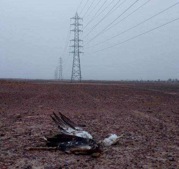 Image result for great indian bustard collision with power lines