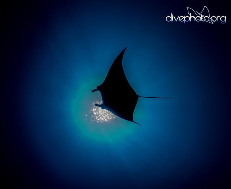 A manta ray in the South China Sea. Photo courtesy of Greg Asner / Divephoto.org.