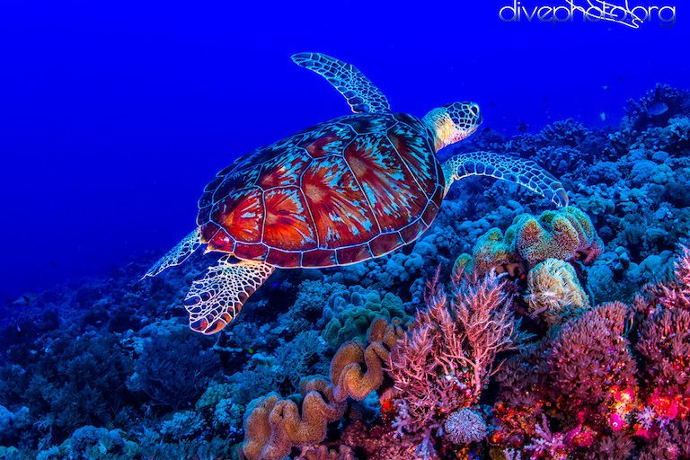 A green sea turtle (Chelonia mydas) in the Spratly Islands of the South China Sea. Photo courtesy of Greg Asner / Divephoto.org.