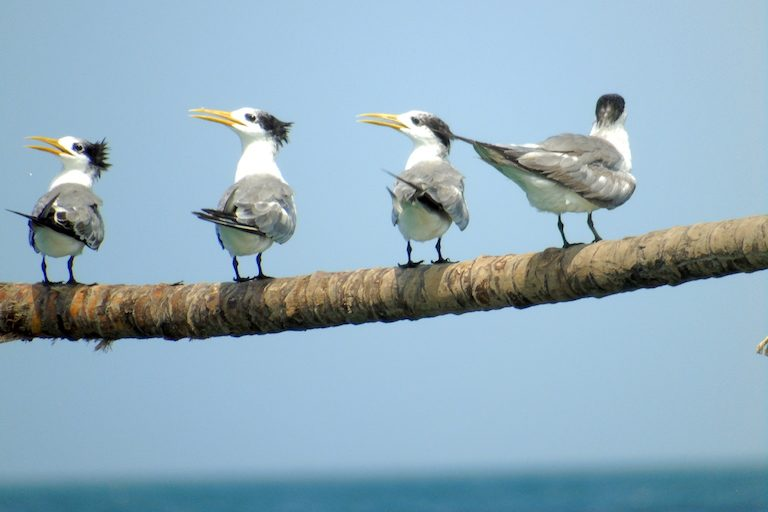 Greater crested terns (Thalasseus bergii) winter in the Myeik Archipelago. Photo by Christoph Zockler.