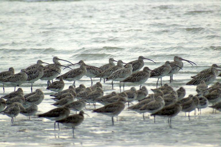 A 2016 research expedition found more than 1,400 Eurasian curlews (Numenius arquata) wintering about 80 miles south of Myeik. Photo by Christoph Zockler.