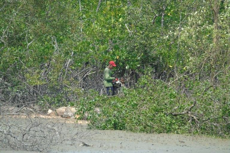 A man cutting mangroves. Mangrove cutting has accelerated in recent years. Some locals attribute this to the import of cheap Chinese chainsaws. Photo by Christoph Zockler.