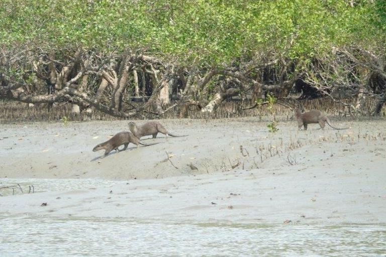 Smooth-coated otters (Lutrogale perspicillata) still live in good numbers in the mudflats and mangroves of Kan Maw Island, Tanintharyi, Myanmar. The IUCN