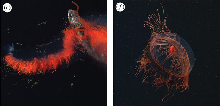 ROV frame grabs of pelagic predators and their prey from Choy et al (2017). (c) Images from an undescribed physonect siphonophore known as 'the galaxy siphonophore' feeding on a lanternfish of the family Myctophidae. (f) The trachymedusa, Halitrephes maasi, with a large, red mysid (Mysidae) in its gut. Images © MBARI; caption adapted from Choy et al (2017).