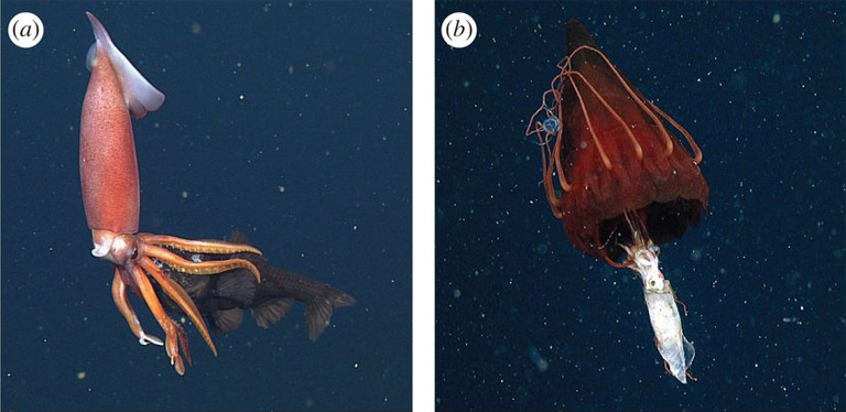 ROV frame grabs of pelagic predators and their prey from Choy et al (2017). (a) Gonatus squid feeding on a bathylagid fish (Bathylagidae). (b) Periphylla periphylla, the helmet jellyfish, feeding on a gonatid squid (Gonatidae), with a small narcomedusa (Aegina sp.) also captured. Images © MBARI; caption adapted from Choy et al (2017).