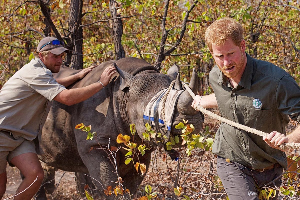 Prince Harry (right) and Roy Hensberg translocating a rhinoceros in Malawi with African Parks. Photo courtesy of Frank Weitzer / African Parks.