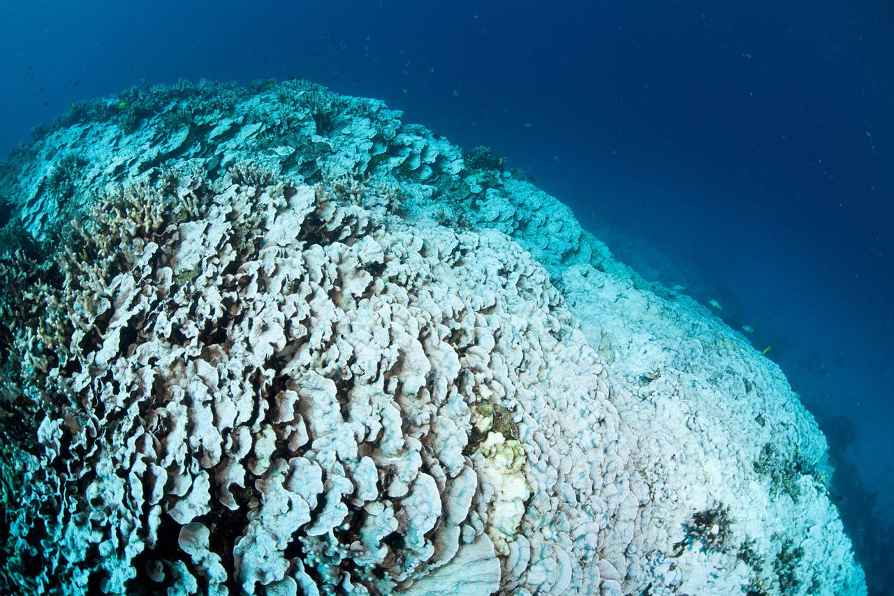 Coral bleaching in the 2015 ocean warming event in the Hawaiian Islands. Photo courtesy of Greg Asner
