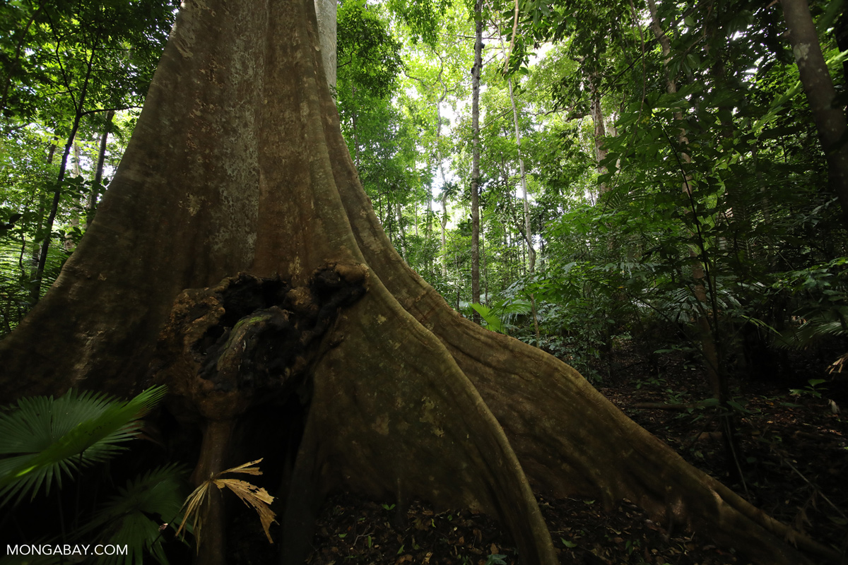 Buttress roots of a rainforest tree in Sulawesi, Indonesia. Photo by Rhett A. Butler.