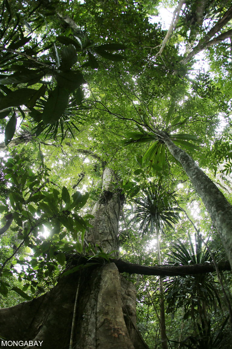 Rainforest in Madagascar, which has experience an increase in its deforestation rate in recent years. Photo by Rhett A. Butler.