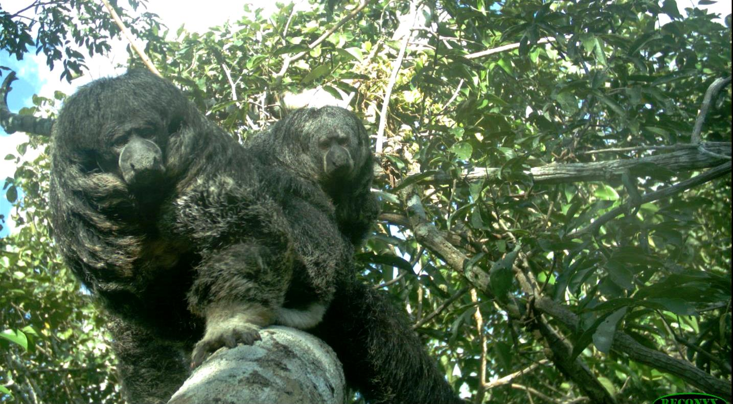 A pair of saki monkeys approach an arboreal camera trap in the Peruvian rainforest