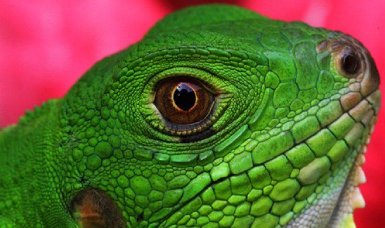 A green iguana. Photo by Rhett A. Butler/Mongabay.