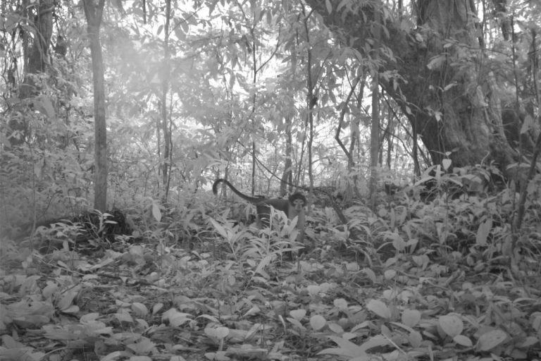 photo image Critically endangered monkeys found in Ghana forest slated for mining