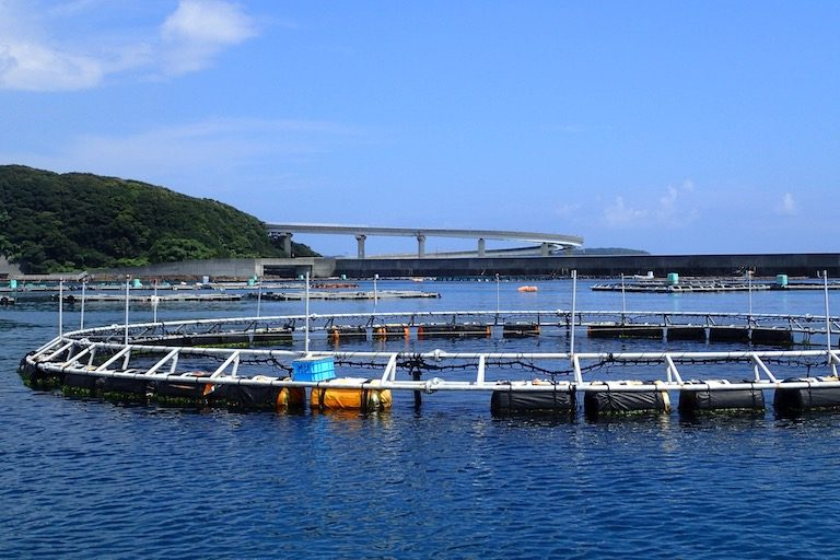Adult Pacific bluefin tuna are kept in offshore cages at Kindai University's Oshima Experiment Station in Wakayama Prefecture, Japan. Photo by Bonnie Waycott.