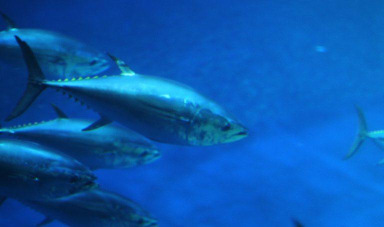Pacific bluefin tuna. Photo by Rhett A. Butler.