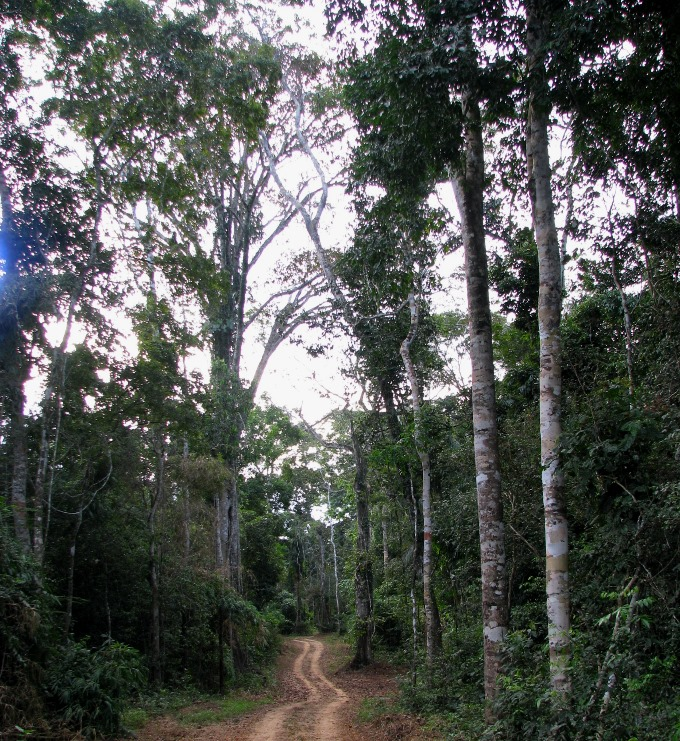 A logging road through Amazon rainforest. If thin enough, these roads may go undetected by low-resolution satellite imagery.
