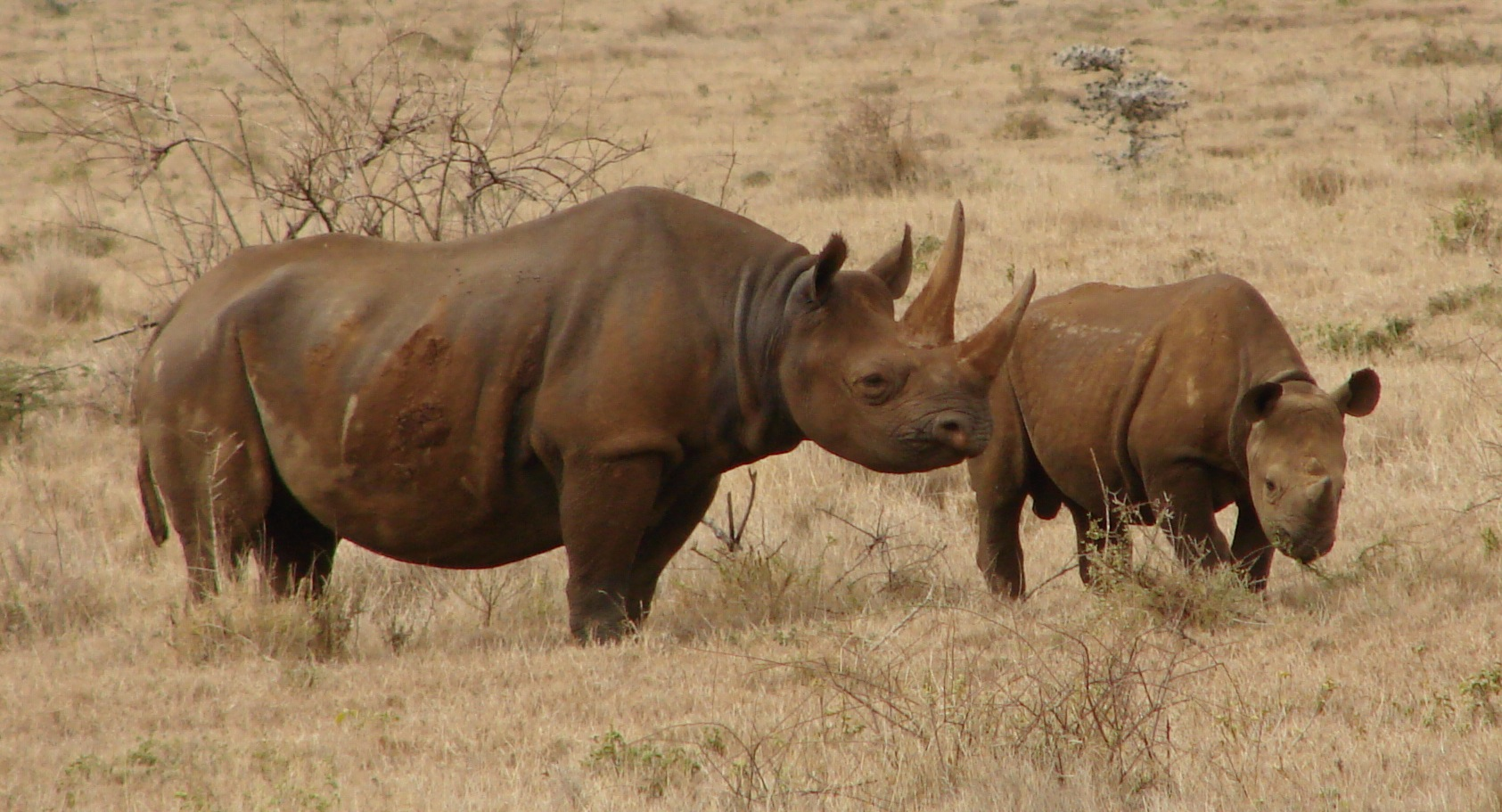 Black rhinos such as these in Kenya are endangered across their range in Africa, due to loss of natural habitat and intense poaching for their horn.
