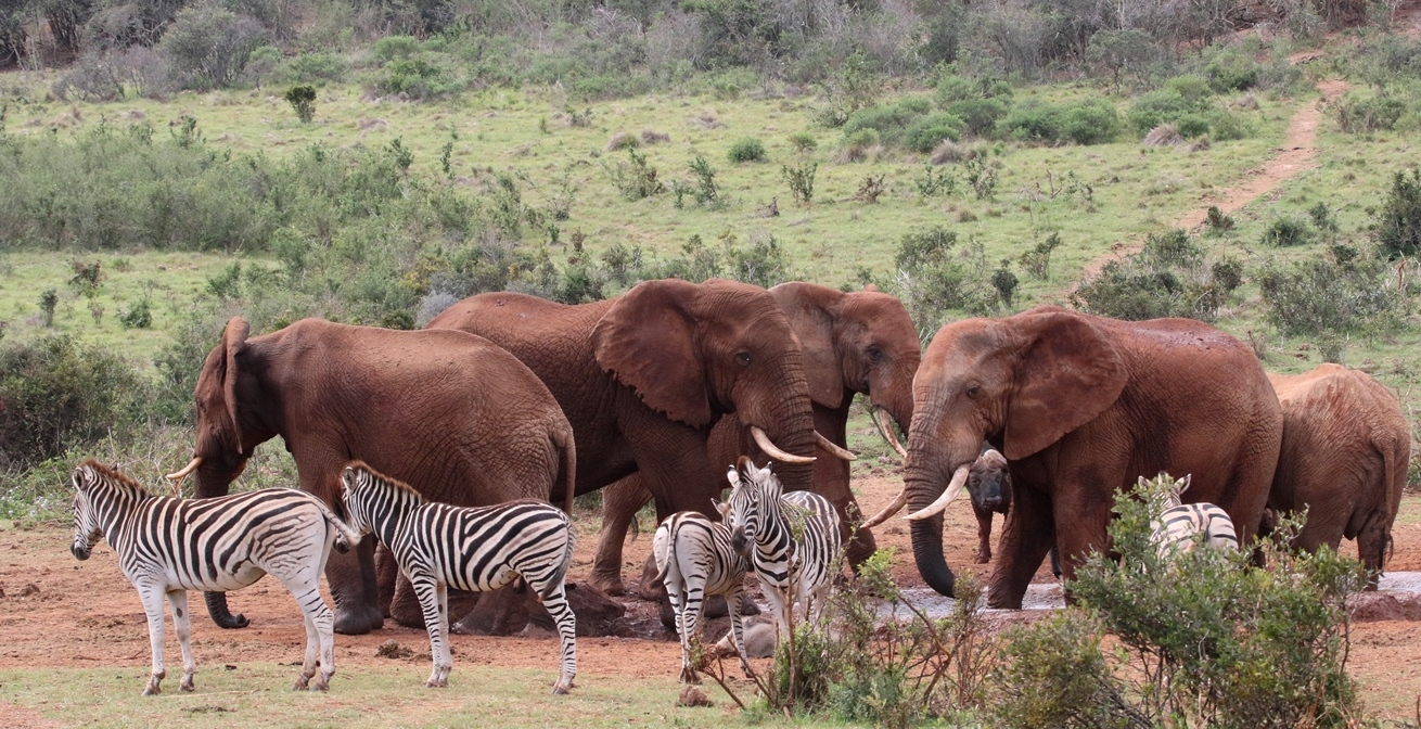 Elephants and zebra using a waterhole in South Africa. Both are targets of wildlife poachers.