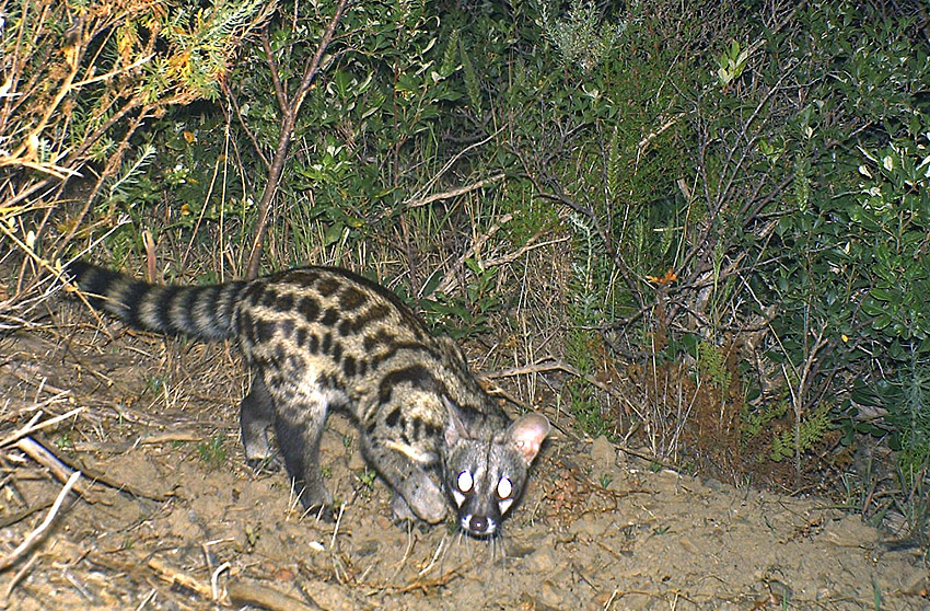 Camera traps also help document presence of cryptic or nocturnal species, such as this large-spotted genet.
