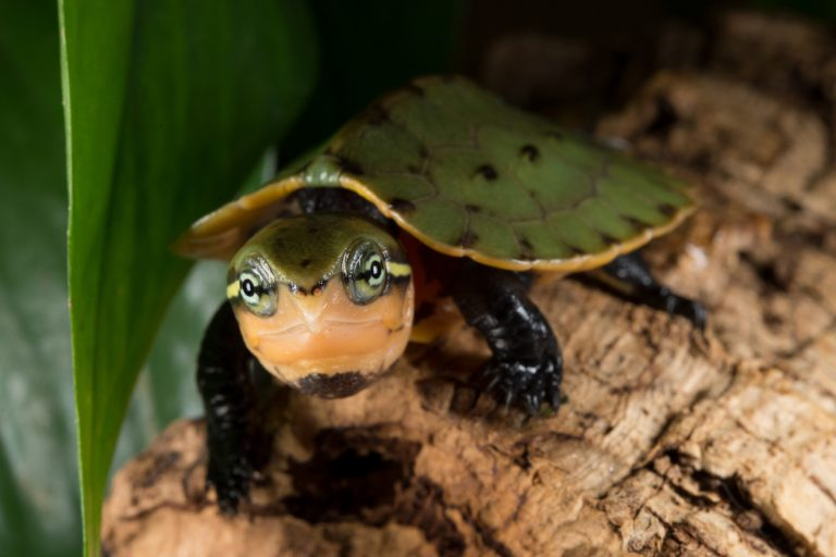 Chinese Big-headed Turtle (Platysternon megacephalum shiui). Chinese big-headed turtles are native to China, Cambodia, Laos, Myanmar, Thailand, and Vietnam. The species is classified as Endangered. Their population is declining due to trade demand across its Asian range countries. Photo © Julie Larsen Maher / WCS.