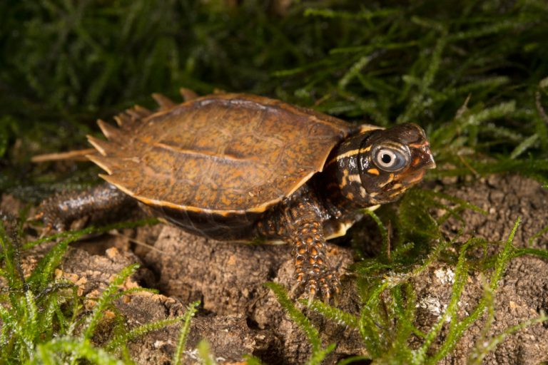 Black-breasted Leaf Turtle (Geoemyda spengleri). Black-breasted leaf turtles are a small, Southeast Asian species with a flat-looking carapace that disguises individuals as dead leaves. They are endangered due to over-collection for the pet trade. Photo © Julie Larsen Maher / WCS.