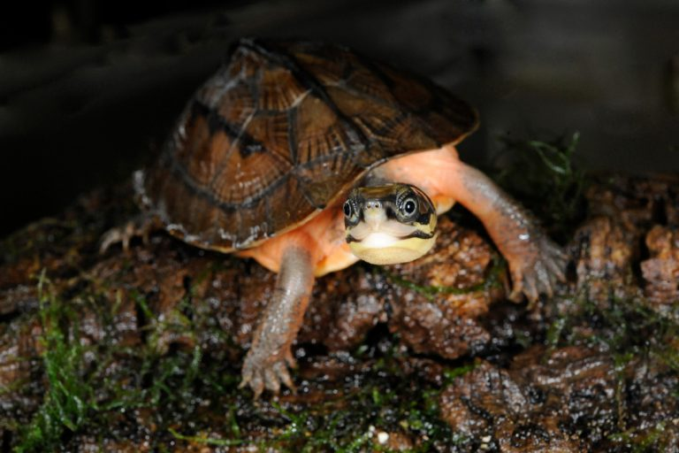 Golden Coin Turtle (Cuora trifasciata). Native to Asia, golden coin turtles have been nearly hunted out of existence. Unsustainable hunting and their use in traditional medicine have depleted their numbers in the wild. They are very closely related to Chinese yellow-headed box turtles, and are threatened for similar reasons. Photo © Julie Larsen Maher / WCS.