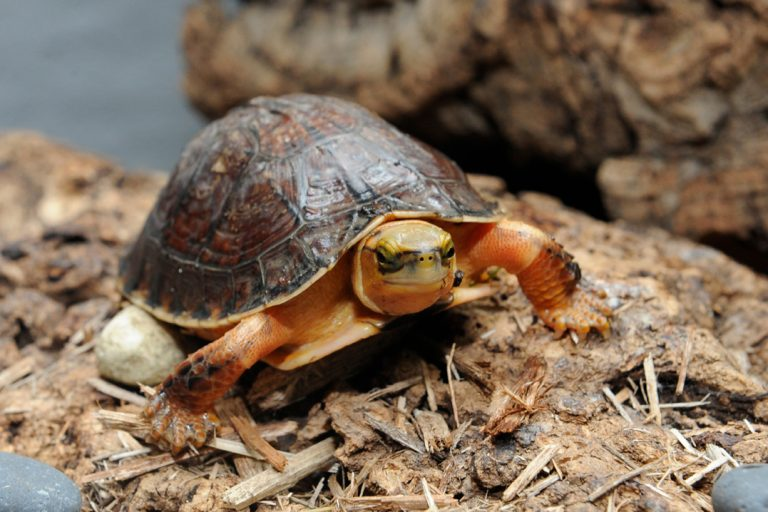 McCord's Box Turtle (Cuora mccordi). McCord's box turtles are critically endangered due to over-collection and use in traditional Chinese medicines. Scientists still aren't sure exactly where these turtles live in the wild, as the species was first described in 1988 from animals found in Asian markets. Photo © Julie Larsen Maher / WCS.