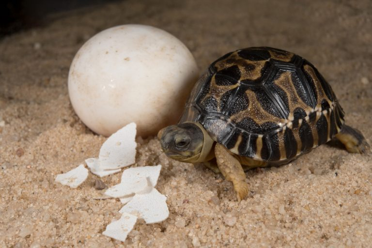 Radiated Tortoise Hatchling (Astrochelys radiata). Madagascar's radiated tortoises have all but disappeared from their island home due to habitat loss, hunting for their meat, and collection for the pet trade. The females lay from three to 12 eggs that resemble ping pong balls. The hatchlings have beautiful, roundish shells, and at 1½ inches, are miniature versions of their 35 pound parents. Photo © Julie Larsen Maher / WCS.