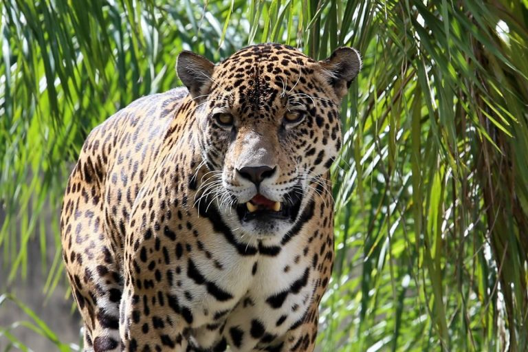 Fang trafficking to China is putting Bolivia's jaguars in jeopardy