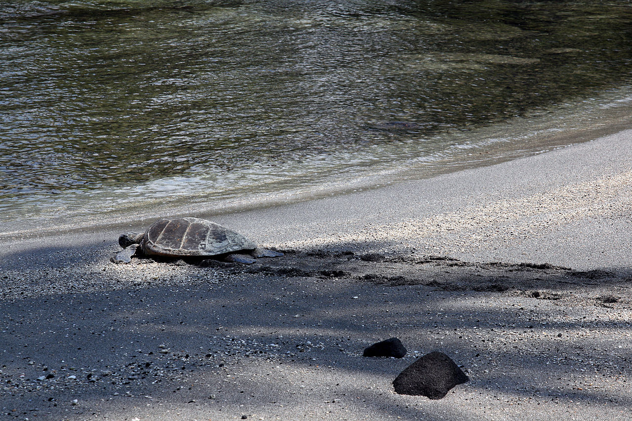 A lone green sea turtle returns to the sea after nesting on the beach.