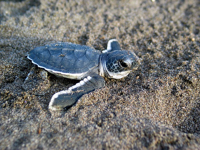 Sea turtle hatchling begins the perilous trip to the ocean's edge. Baby sea turtles face extreme predation pressure from birds, mammals, and people.