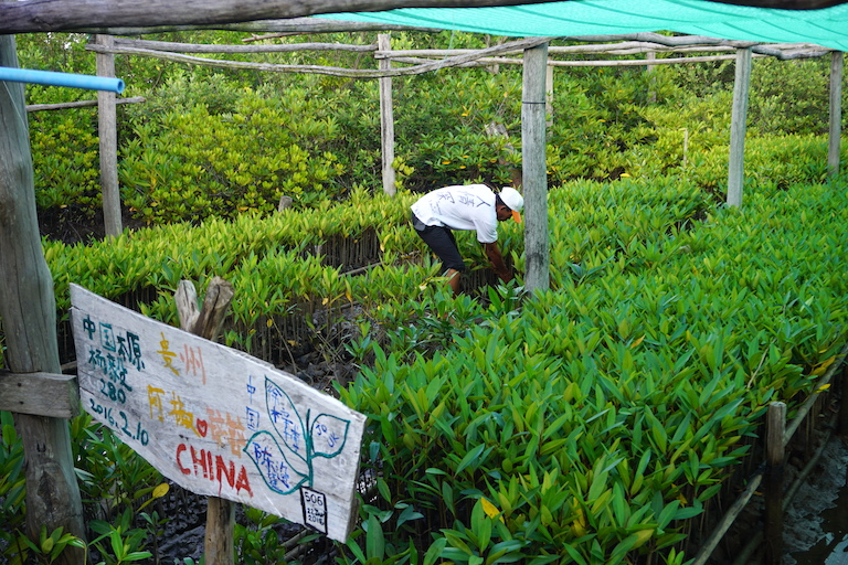 A local volunteer collects saplings to be transplanted from the plantation. The sign in the foreground was made by visiting Chinese students who planted the seeds. Photo by Matt Blomberg for Mongabay.