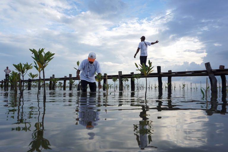 A local volunteer plants a mangrove sapling at the Trapeang Sangke inlet. The best time for transplanting is July, the peak of the wet season when the estuary is least salty. With a full team of volunteers, 4,000 saplings get transplanted in the most productive months. Photo by Matt Blomberg for Mongabay.